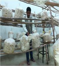 Oyster mushroom fruiting in department